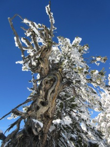 Gnarly old pine on Ferry Peak, Wyoming.